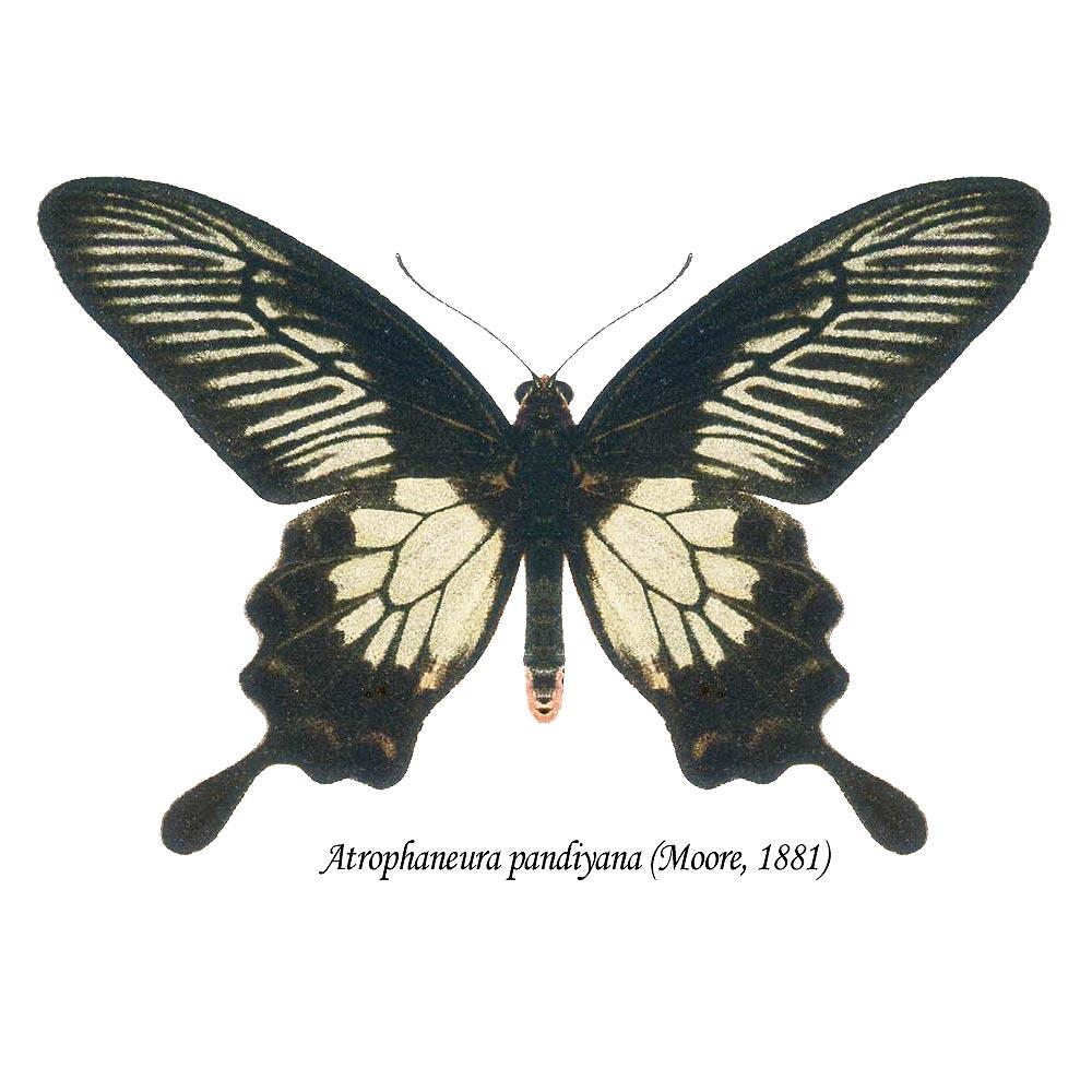 Atrophaneura-pandiyana