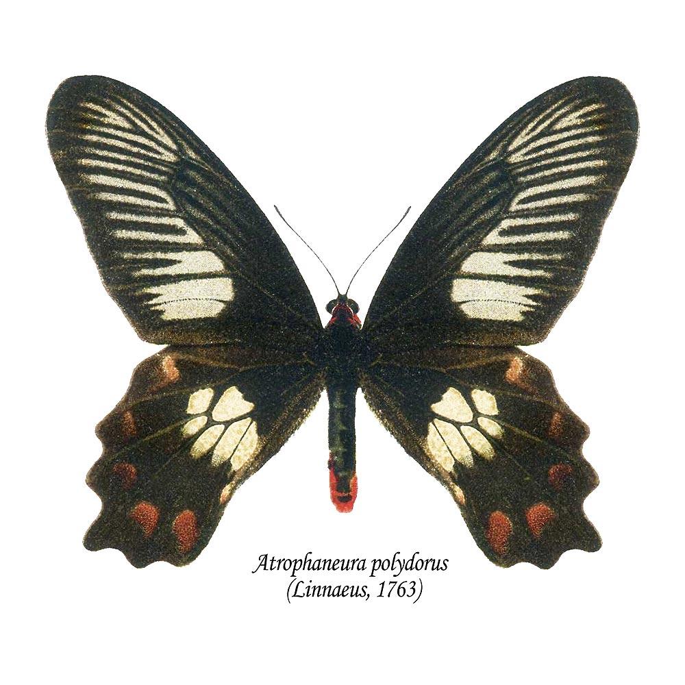 Atrophaneura polydorus