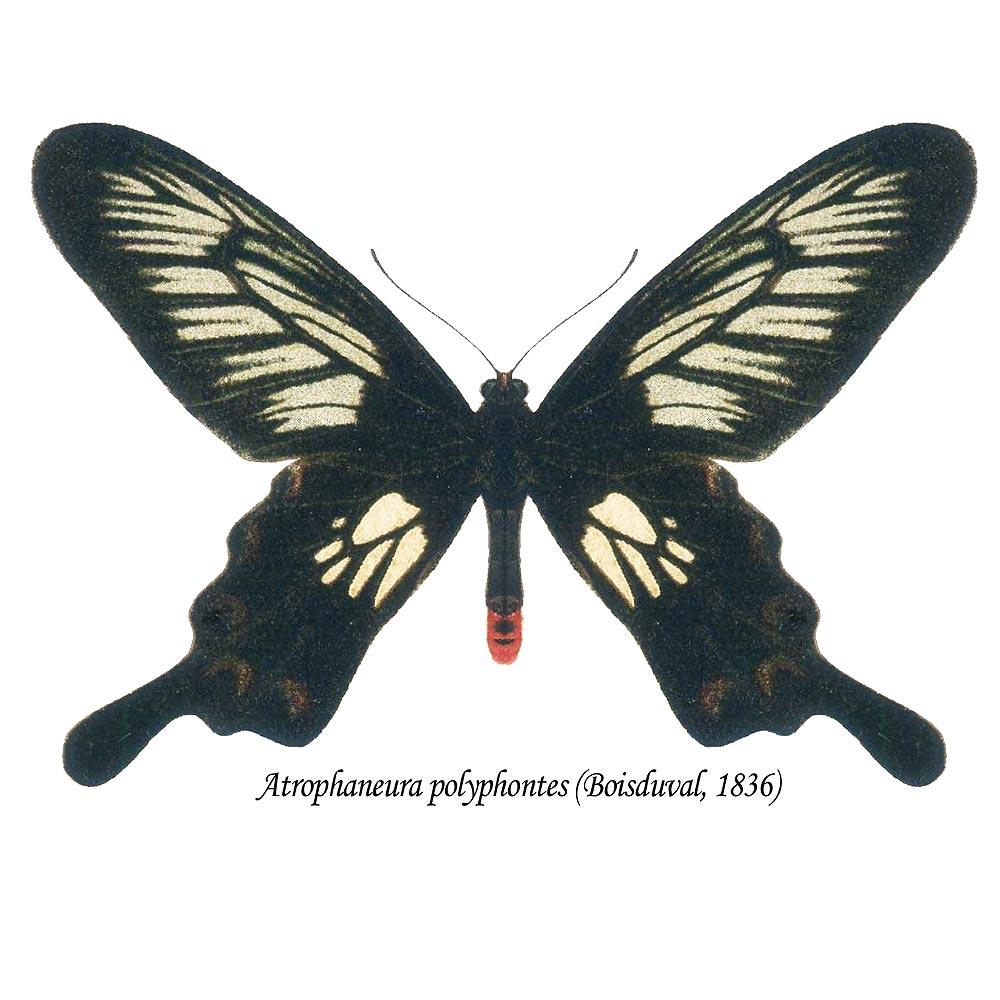 Atrophaneura polyphontes