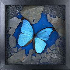 Composition Morpho didius
